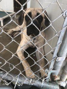Rescued Mastiffs | Make a Big Difference to a Big Dog!